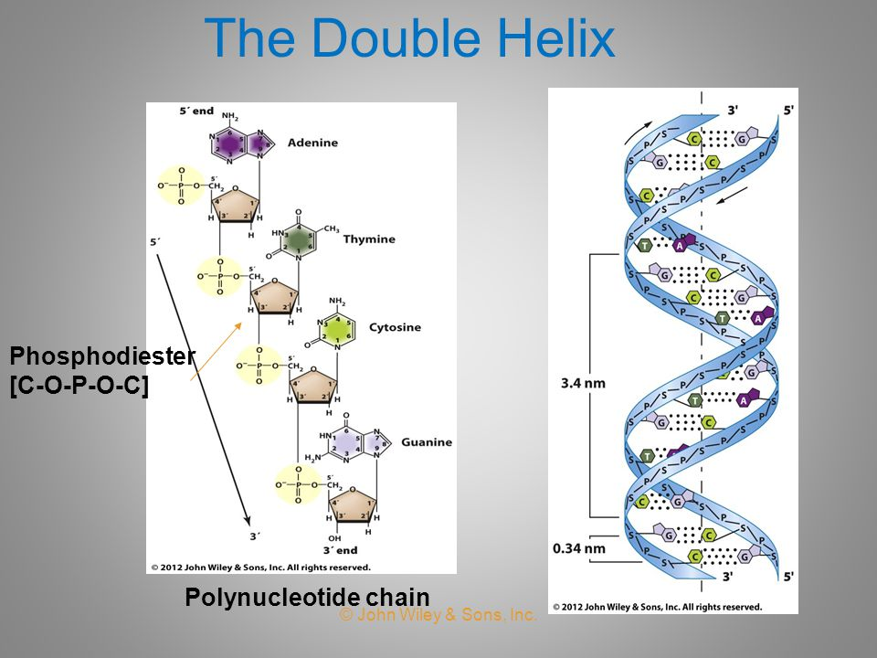 The Double Helix Phosphodiester [C-O-P-O-C] Polynucleotide chain